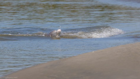 Dolphin Fishing On Shore - click to enlarge