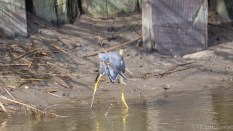 Tricolored Heron, Tiny Fish