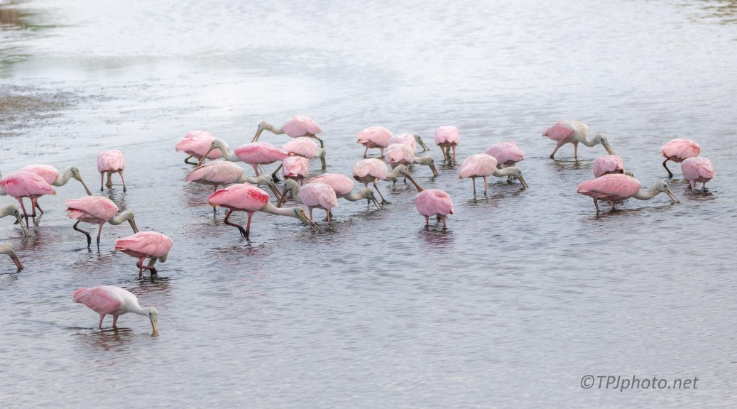Spoonbill Gathering - click to enlarge