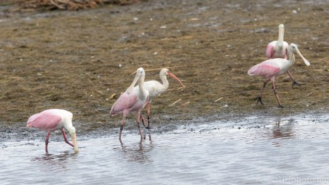Ibis Hanging With The Big Guys - click to enlarge
