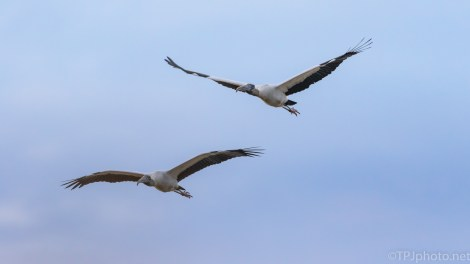 Wood Storks, Coming And Going - click to enlarge