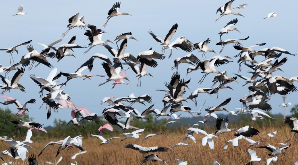Wood Storks, Spoonbills, Egrets, Me - click to enlarge