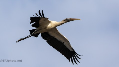 Wood Stork Overhead - click to enlarge