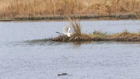 A Wide Shot On A Marsh, Alligator And Egret - click to enlarge