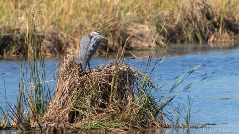 Great Blue Herons In The Reeds - click to enlarge