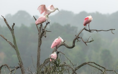 A Party Of Pink, Spoonbills - click to enlarge