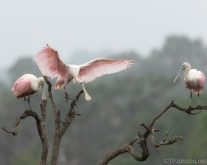 A Better Landing Than It Looks, Spoonbill - click to enlarge