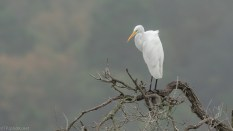 Great Egret In A Marsh Tree - click to enlarge