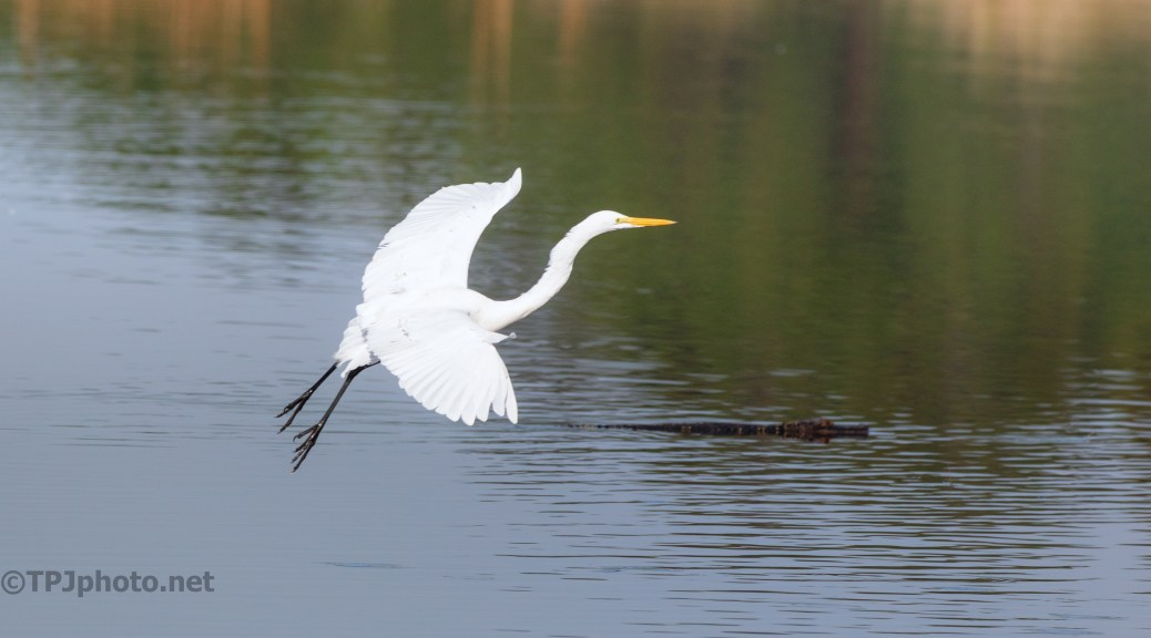 Check The Landing Spot First, Egret - click to enlarge