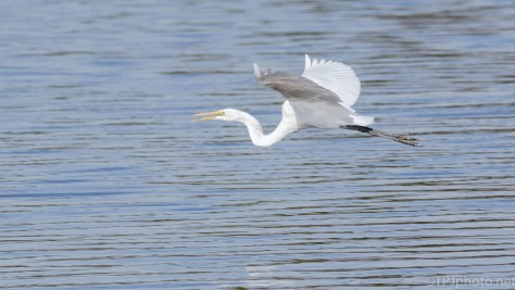 Announcing His Arrival, Great Egret - click to enlarge
