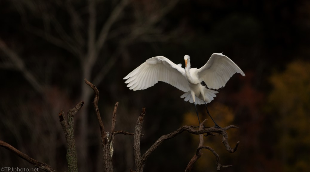 Grace And Beauty, Great Egret - click to enlarge