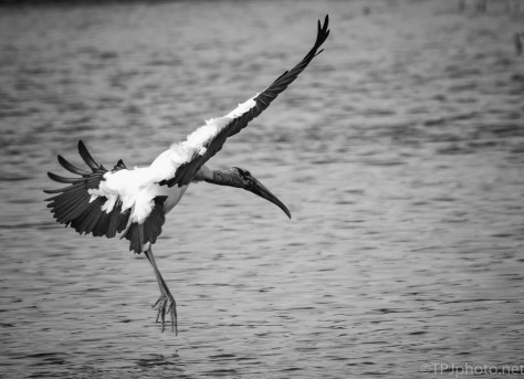 Touch Down, Black And White, Stork - click to enlarge
