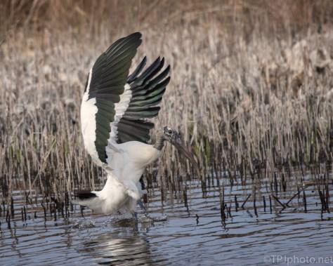 Safe Landing In The Reeds, Stork - click to enlarge