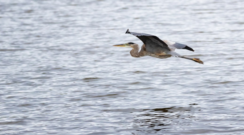 Great Blue Passing Through - click to enlarge