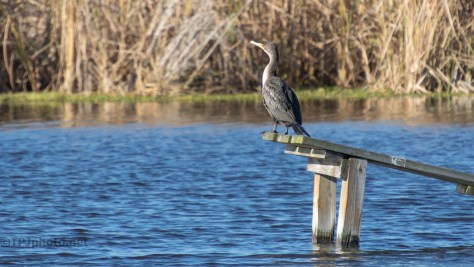 Another Cormorant - click to enlarge