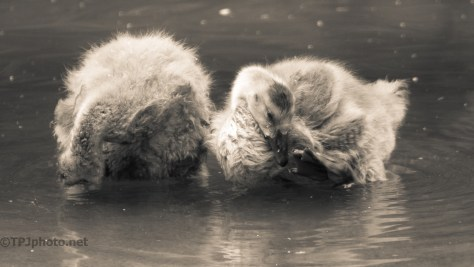 Sepia, Wet, Fluff, Goslings - click to enlarge