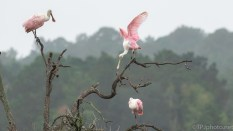 Circus Tight Rope Walker, Spoonbill - click to enlarge