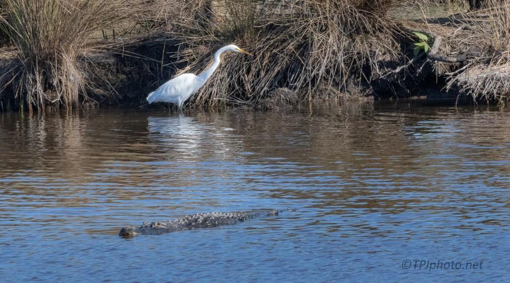 Just Enough Space, Egret, Alligator - click to enlarge