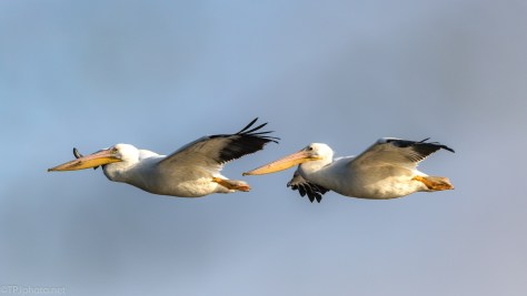 Pair Of White Pelicans - click to enlarge