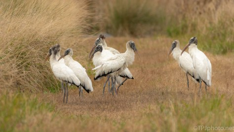 Dike Was Crowded, Wood Storks - click to enlarge