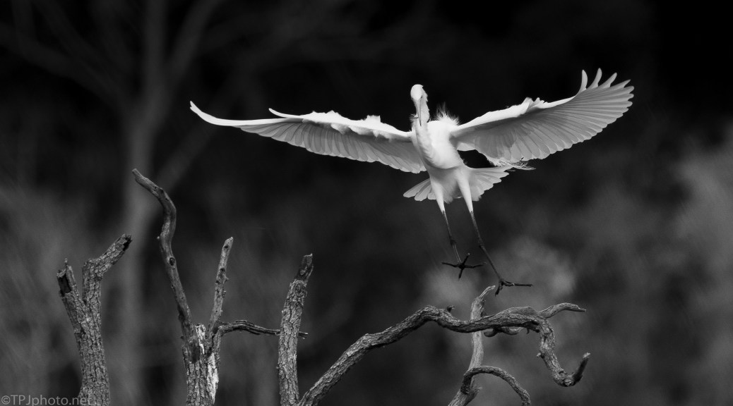 Dramatic Egret - click to enlarge