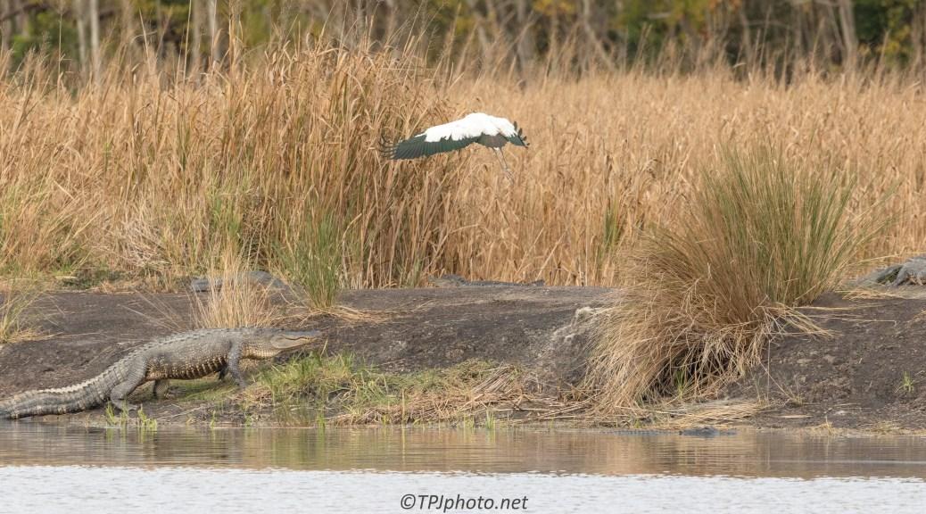 Bad Idea Mr. Wood Stork - click to enlarge