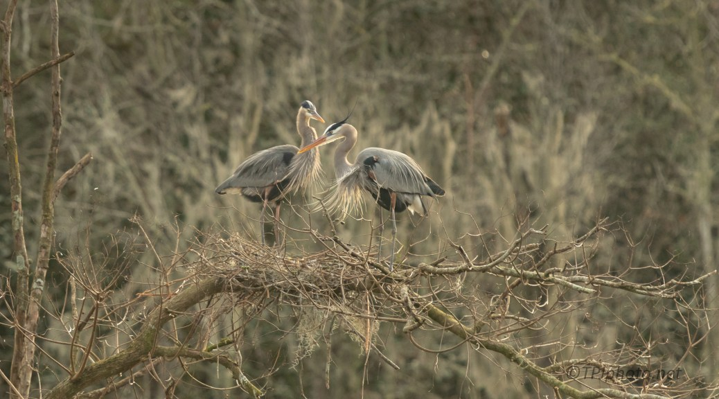 Up Above The Swamp, Herons - click to enlarge