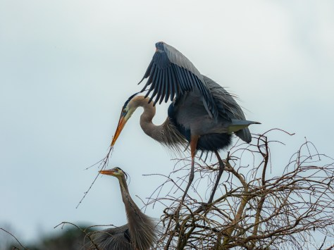 Working As A Team, Herons - click to enlargeWorking As A Team, Herons - click to enlarge
