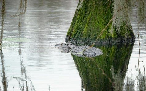 Part Of The Landscape, Alligator - click to enlarge