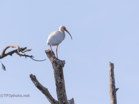 Keeping A Watchful Eye, Ibis - click to enlarge