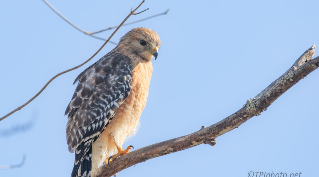 Red-shouldered Hawk Searching A Swamp - click to enlarge