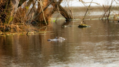Lurking Nearby, Alligator - click to enlarge