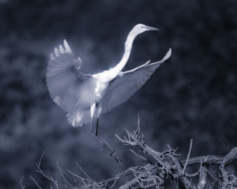 Cyan, Great Egret, Soft Focus - click to enlarge