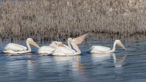 Paddling Pelicans - click to enlarge