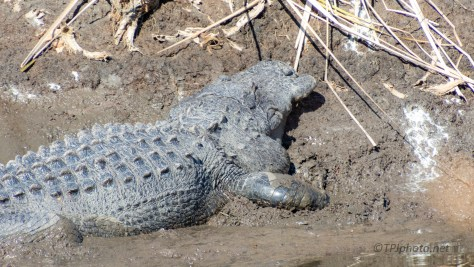 Digging In, Keeping Warm, Alligator - click to enlarge