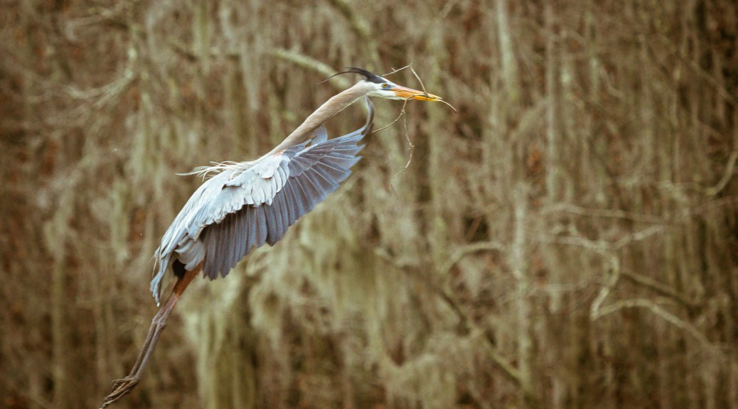 Heading To The Nest, Heron - click to enlarge