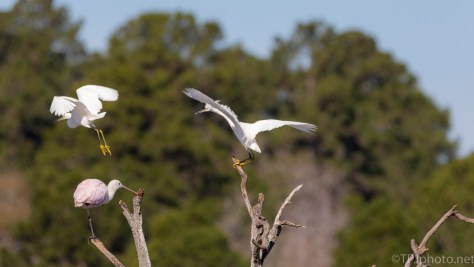 Snowy Egret, Usual Bad Attitude - click to enlarge