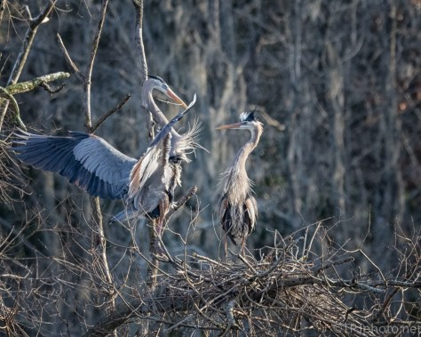 Last Branch Of The Day. Heron - click to enlarge