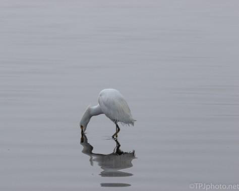Snowy Egret, Fog - click to enlarge