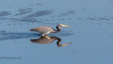 Watching A Tricolored Heron - click to enlarge
