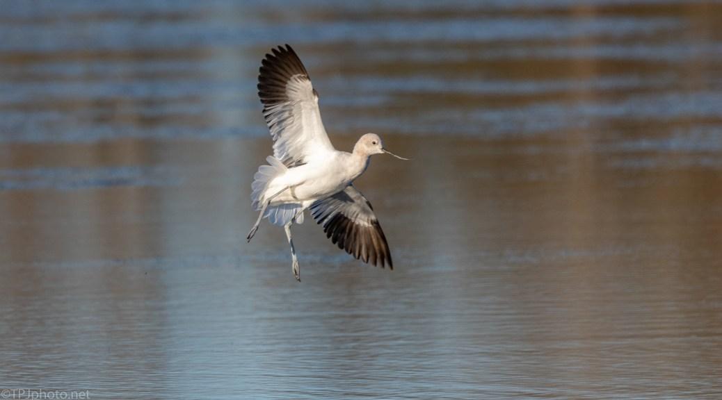 American Avocet Landing In A Marsh