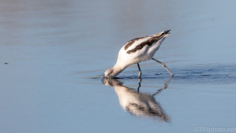 Avocet Fishing The Shallows