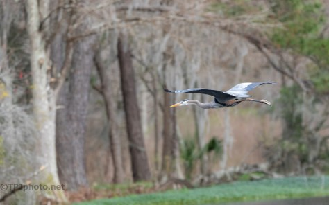 Great Blue Heron Making An Exit