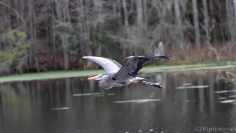 Great Blue Heron Leaving A Swamp