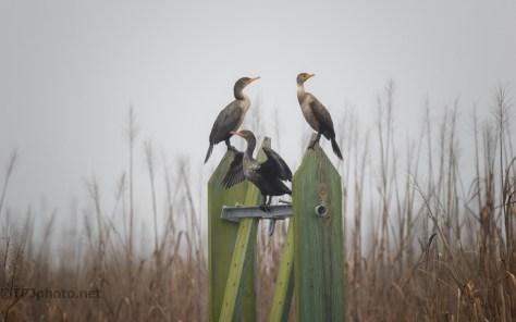Early Morning Cormorants