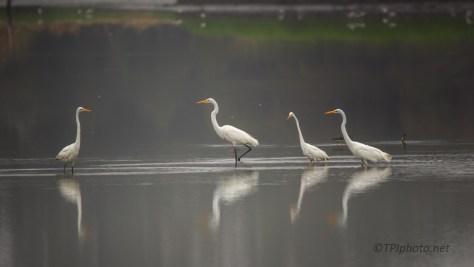 Early Morning Gathering, Egrets