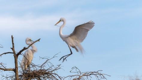 Elegant Egret