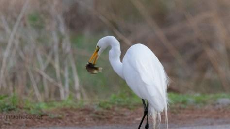 Caught A Fish, Egret