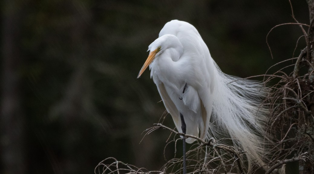 Deep In Thought, Great Egret