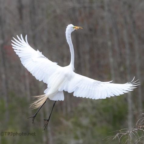 Graceful Entrance, Great Egret